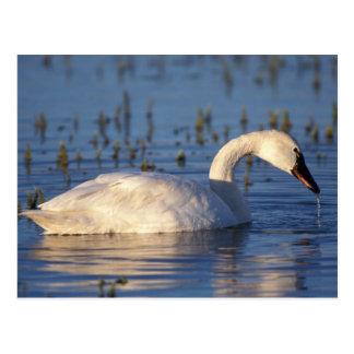 cisne que silba, columbianus del Cygnus, comiendo Postal