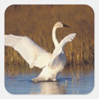cisne que silba, columbianus del Cygnus, estirando Calcomanía Cuadrada Personalizada