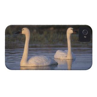 Cisne que silba o cisne de tundra, nadando en Case-Mate iPhone 4 carcasas