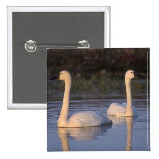 Cisne que silba o cisne de tundra, nadando en pin cuadrada 5 cm