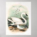 Cisne y gaviota impresiones