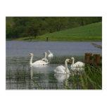 Cisnes animales tarjeta postal