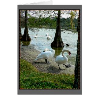 Cisnes de Lakeland Tarjeta