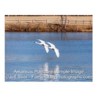 Cisnes de trompetista de Arkansas Tarjetas Postales