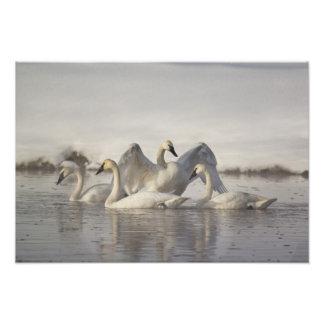 Cisnes de trompetista en el río de Madison en invi Foto
