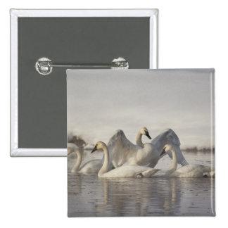 Cisnes de trompetista en el río de Madison en invi Pins