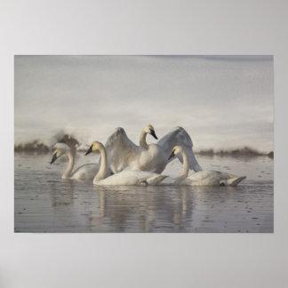 Cisnes de trompetista en el río de Madison en invi Póster