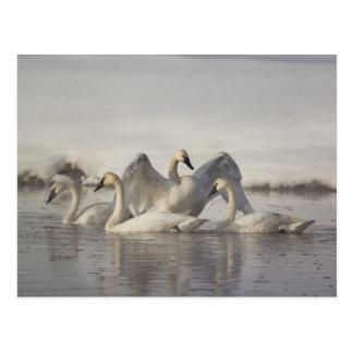 Cisnes de trompetista en el río de Madison en Postal