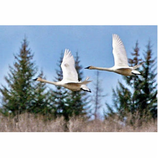 Cisnes de trompetista en vuelo fotoescultura vertical