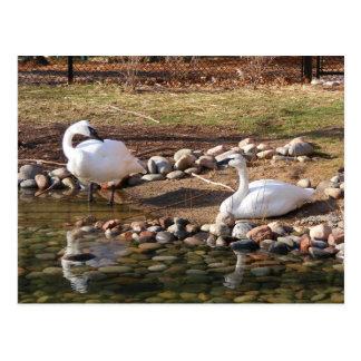 Cisnes de trompetista postales