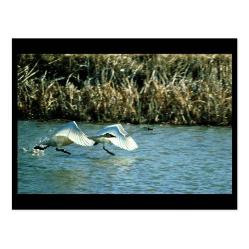 Cisnes de tundra tarjeta postal