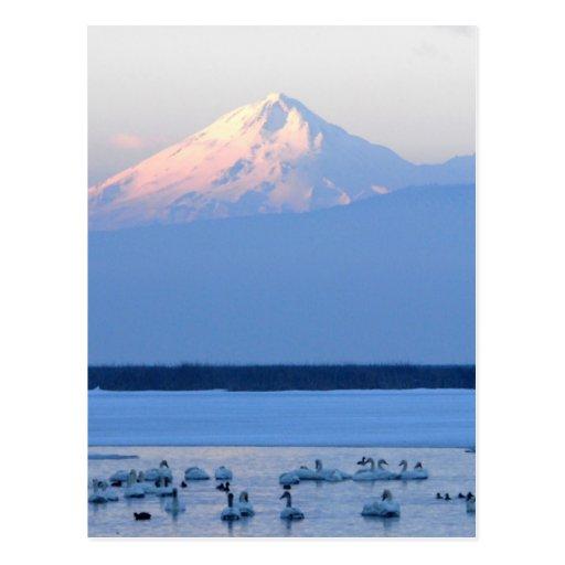 Cisnes de tundra y soporte Shasta Postal
