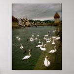 Cisnes en Alfalfa, Suiza Posters