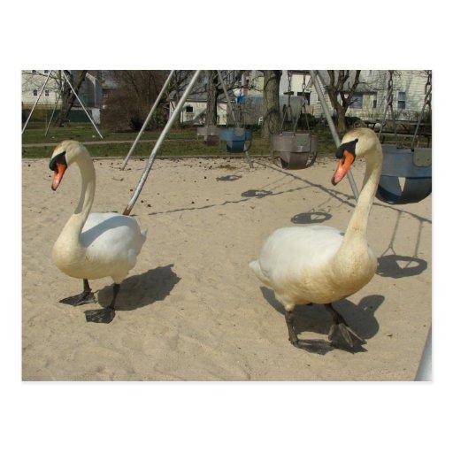 Cisnes en el patio tarjetas postales