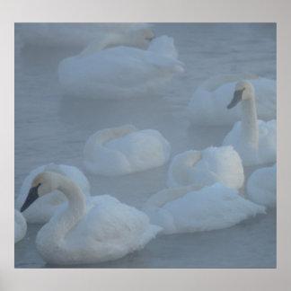 Cisnes en la niebla de la mañana (Cygnus Póster