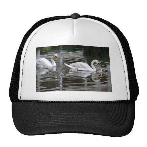 Cisnes mudos con los polluelos en el agua gorra