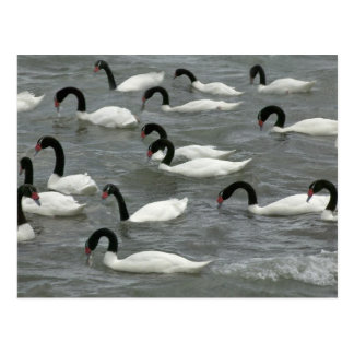 cisnes Negro-necked (melancoryphus del Cygnus) enc Postal