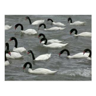 cisnes Negro-necked (melancoryphus del Cygnus) Tarjetas Postales