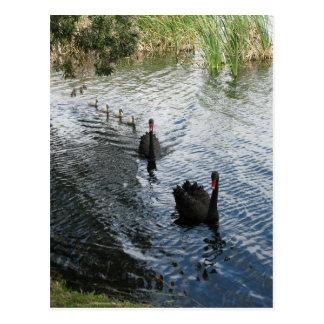 Cisnes negros, Perth Postal