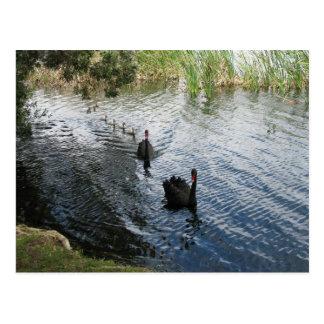 Cisnes negros, Perth Tarjeta Postal