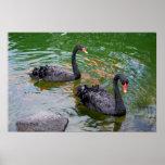 Cisnes negros poster