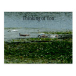 Cisnes que alimentan por las postales de los cojin