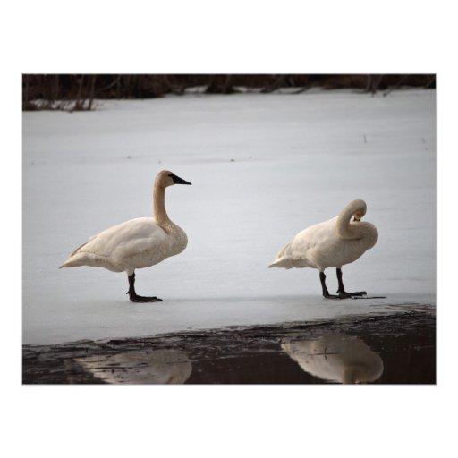 Cisnes que preparan en el borde del agua fotografías