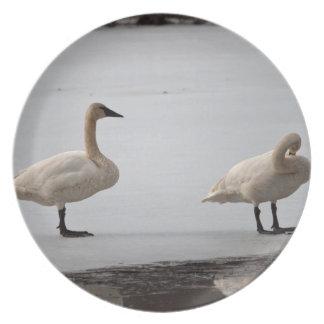 Cisnes que preparan en el borde del agua plato de cena