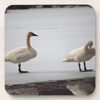 Cisnes que preparan en el borde del agua posavasos de bebida