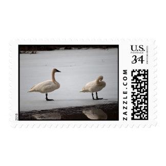 Cisnes que preparan en el borde del agua sello