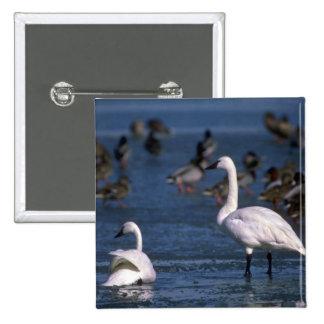 Cisnes que silban, en el hielo pin