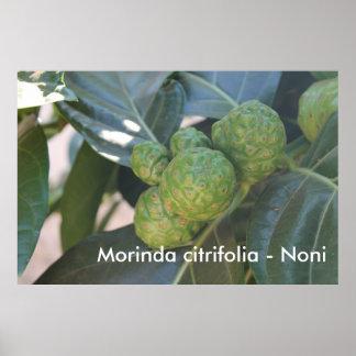 Citrifolia Morinda - Noni Posters