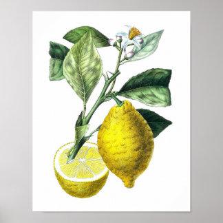 Citrus Fruit Lemon Botanical Print no. 10 Wall Art