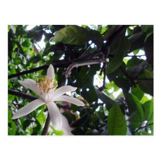 Citrus × limon postcard