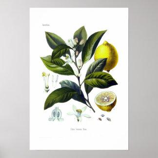 Citrus Limonum (limón) Póster
