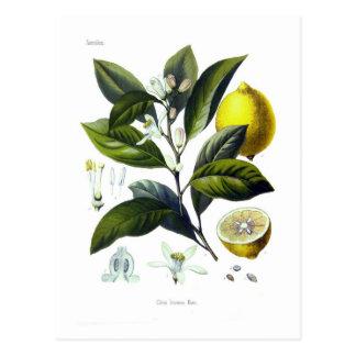 Citrus Limonum (limón) Postal