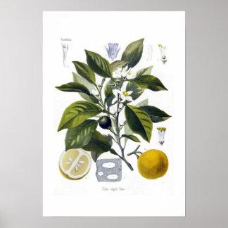 Citrus vulgaris (Orange) Print
