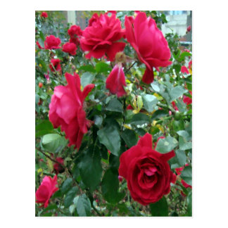 City Roses... Postcard