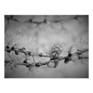 ck and white Larch blossom Poster