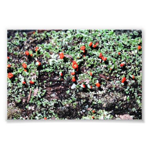 Cladonia lichen photo print