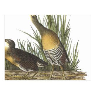 Clapper Rail, John Audubon Postcard