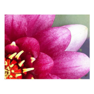 Claret Colored Water Lily Post Card