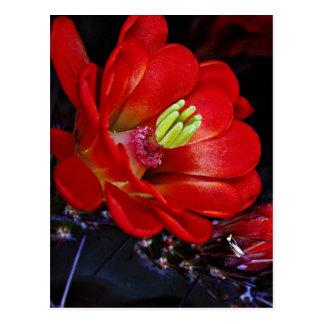 Claret cup cactus (Echinocereus triglochidiatus) Postcard
