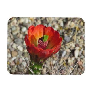 Claret Cup Hedgehog Cactus Bloom Rectangular Magnet