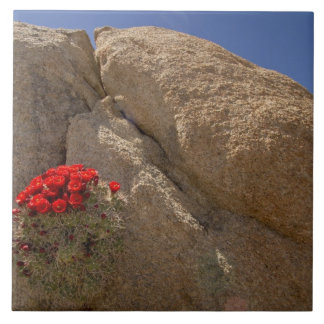 Claret cup or Mojave mound cactus in bloom Ceramic Tile