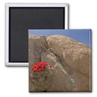 Claret cup or Mojave mound cactus in bloom Fridge Magnets