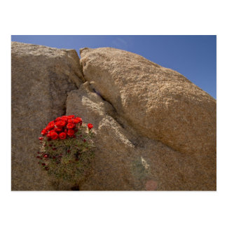 Claret cup or Mojave mound cactus in bloom Postcard
