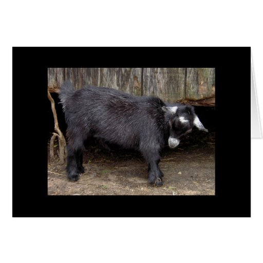Claret the Pygmy goat greeting card