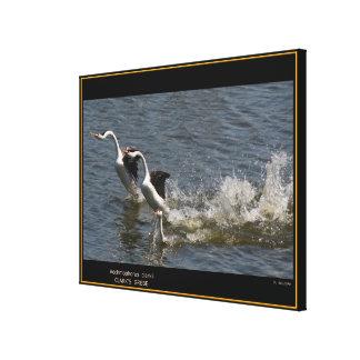 Clarks Grebe Birds Wildlife Photography Print
