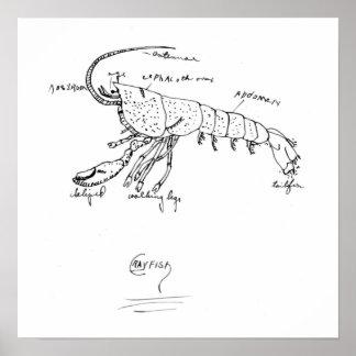 clase 1925 de la anatomía de los cangrejos poster